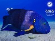 губан метлохвостый diving for beginners in eilat