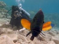 Наглый губан заинтересован подводной фотосъемкой