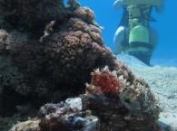Рыба-камень в Эйлате